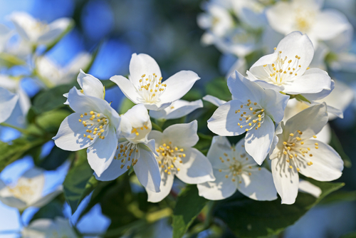 Jasmine_Flower